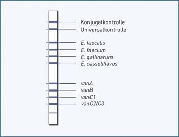 Streifengrafik GenoType Enterococcus