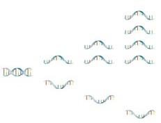 Asymmetric excess PCR mit Lights-On/-Off-Probes Schritt 1