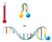Asymmetric excess PCR mit Lights-On/-Off-Probes Schritt 4